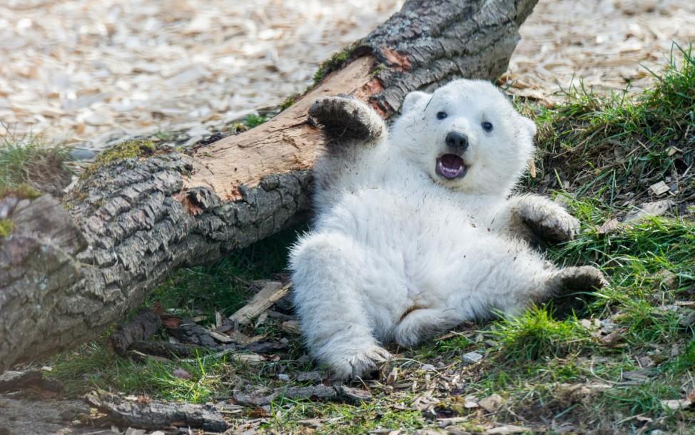 Eisbärenzwillinge Hellabrunn Eines der beiden 14 Wochen alten Eisbären-Zwillinge genießt am 22.03.2014 in München die Sonnenstrahlen im Freigehege im Tierpark Hellabrunn.