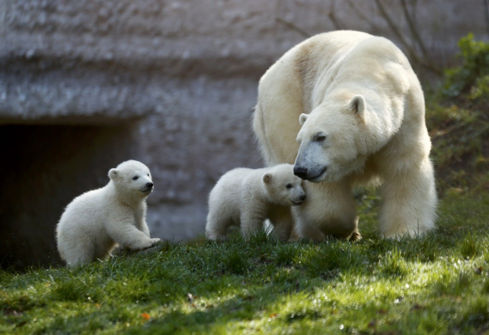 Twin polar bear cubs Nela and Nobby and their mother Giovanna play outside their enclosure at Tierpark Hellabrunn zoo in Munich