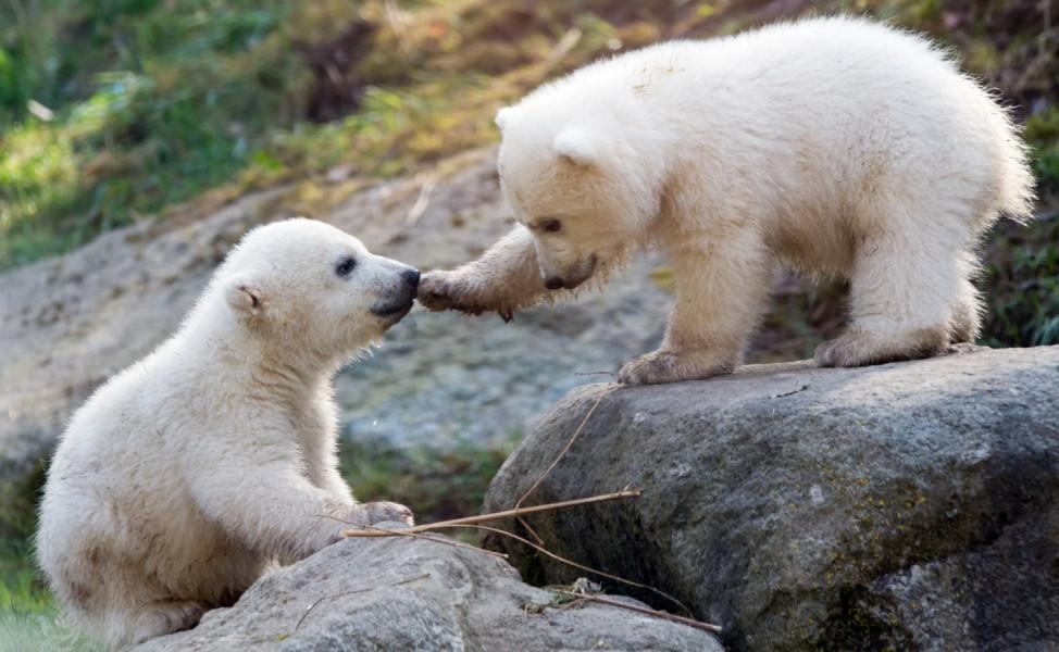 Namenstaufe Eisbärenzwillinge im Tierpark Hellabrunn