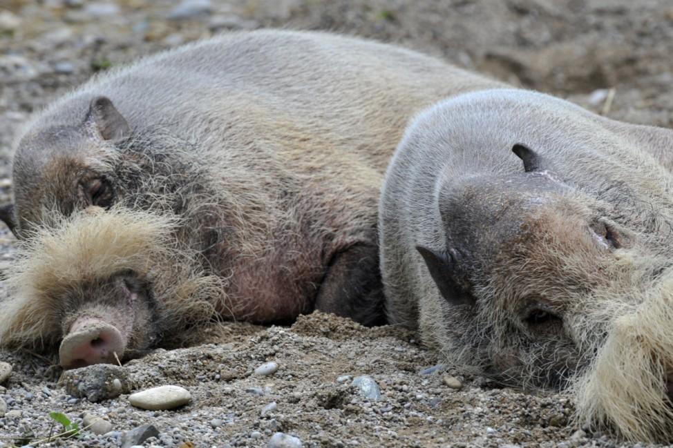 Ermattete Bartschweine
