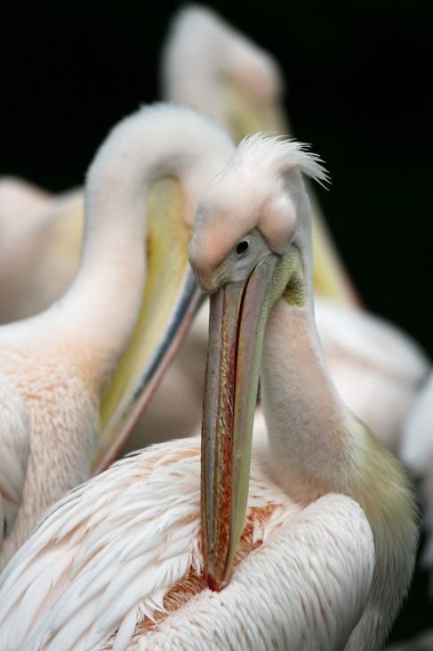 Pelikan putzt sich