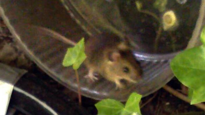 wilde Mäuse im Laufrad