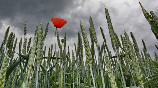 Widerstandsfähigkeit: Auch Pflanzen möchten hin und wieder gestreichelt werden - möglicherweise lässt sich mit Handauflegen sogar der Ertrag steigern.