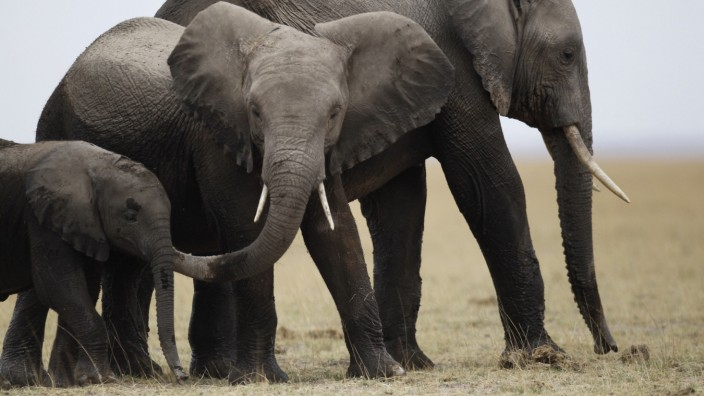 A family of elephants walks after cooling themselves in a pond during a census at the Amboseli National Park southeast of Kenya's capital Nairobi