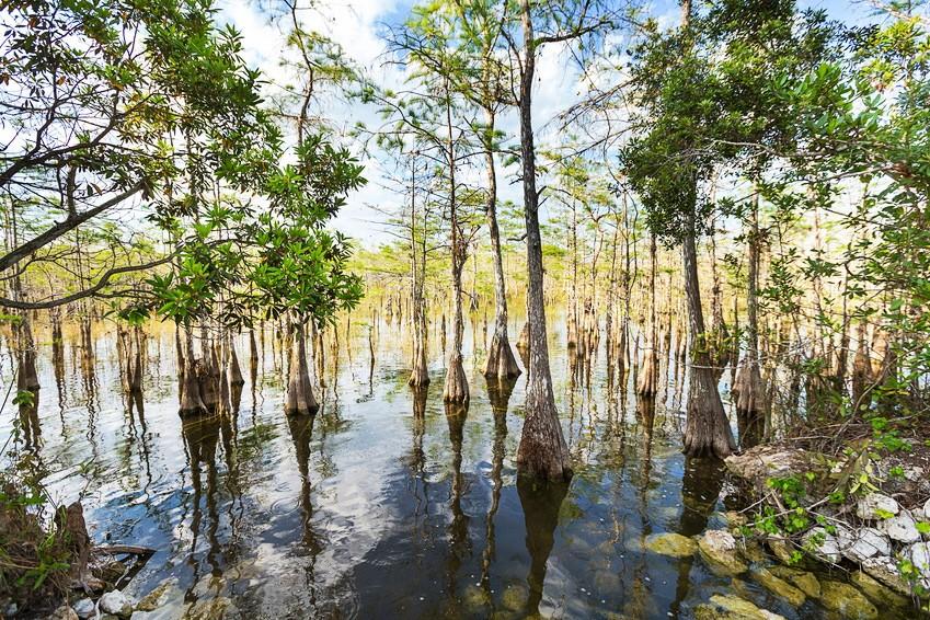 Sumpf in Florida