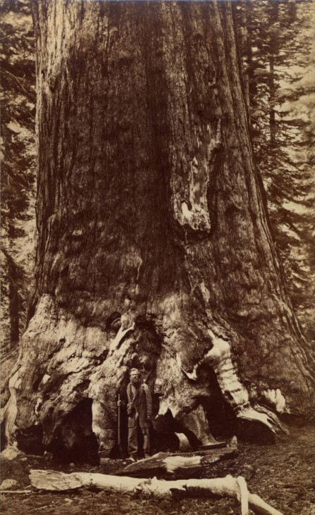 Section Grizzly Giant, Mariposa Grove, California, 1961