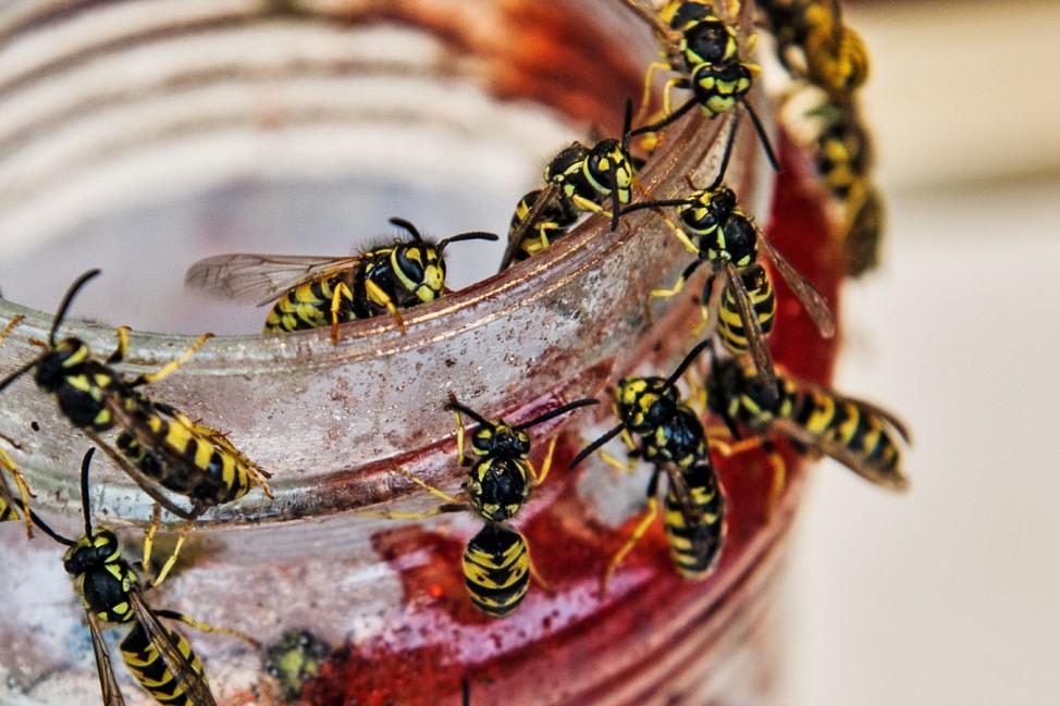 Wespen haben Hochsaison