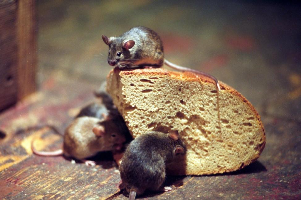 Das große Krabbeln - Mäuse und Motten aus dem Haus vertreiben