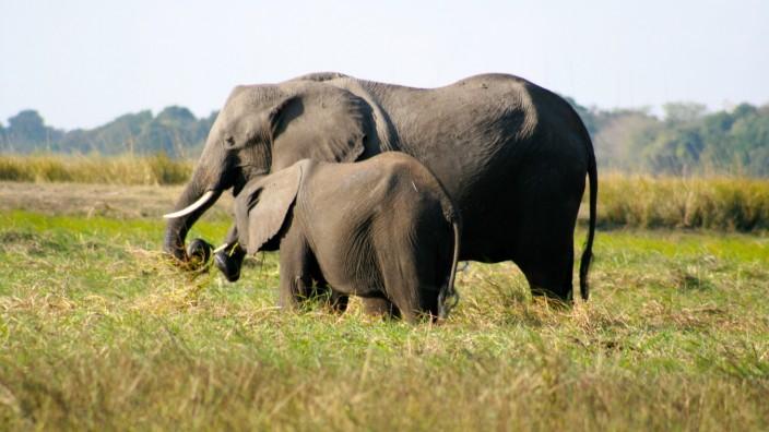 Elefanten in Afrika - von Wilderern bedroht