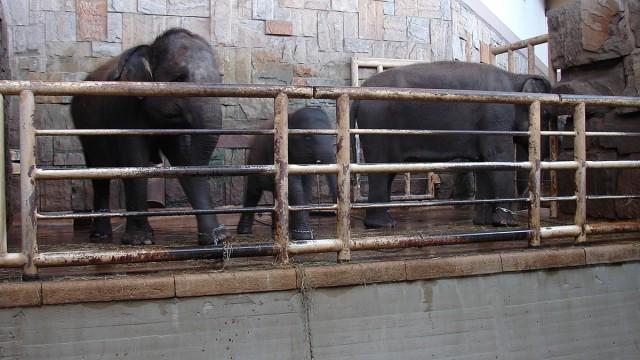 Angekettete Elefanten in Berlin