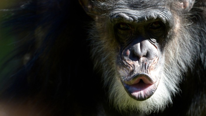 Neues Schimpansen-Außengehege im Zoo Hannover