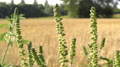 """Ambrosia-Pflanze: Ambrosia artemisiifolia, das  """"Beifußblättriges Traubenkraut. Die Pflanze ist hochallergen."""