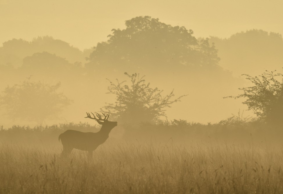 A deer barks in the early morning mist in Richmond Park in south west London