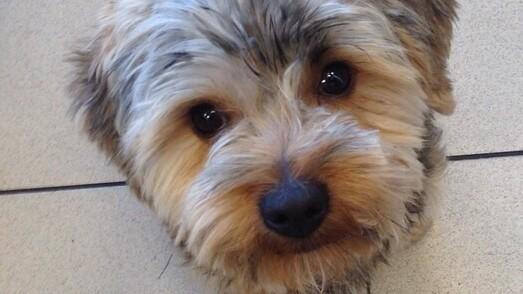 Yorkshire-Terrier Sammy
