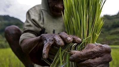 Welternährung: Viele Kleinbauern in Entwicklungsländern, wie hier auf den Philippinen, bauen gerade so viel Reis oder Getreide an, wie ihre Familie verzehrt.