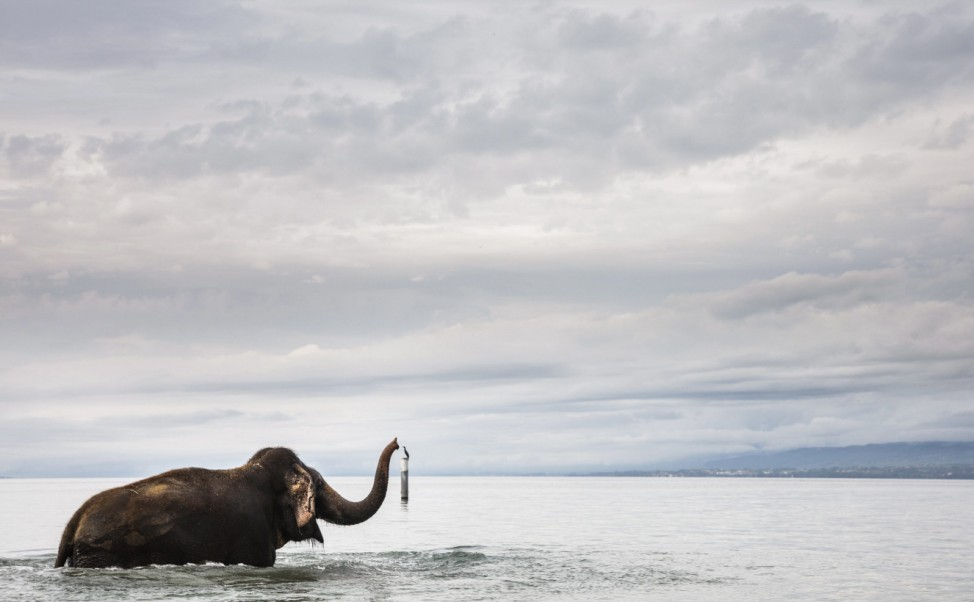 Circus Knie elephants bathe in Lake Geneva