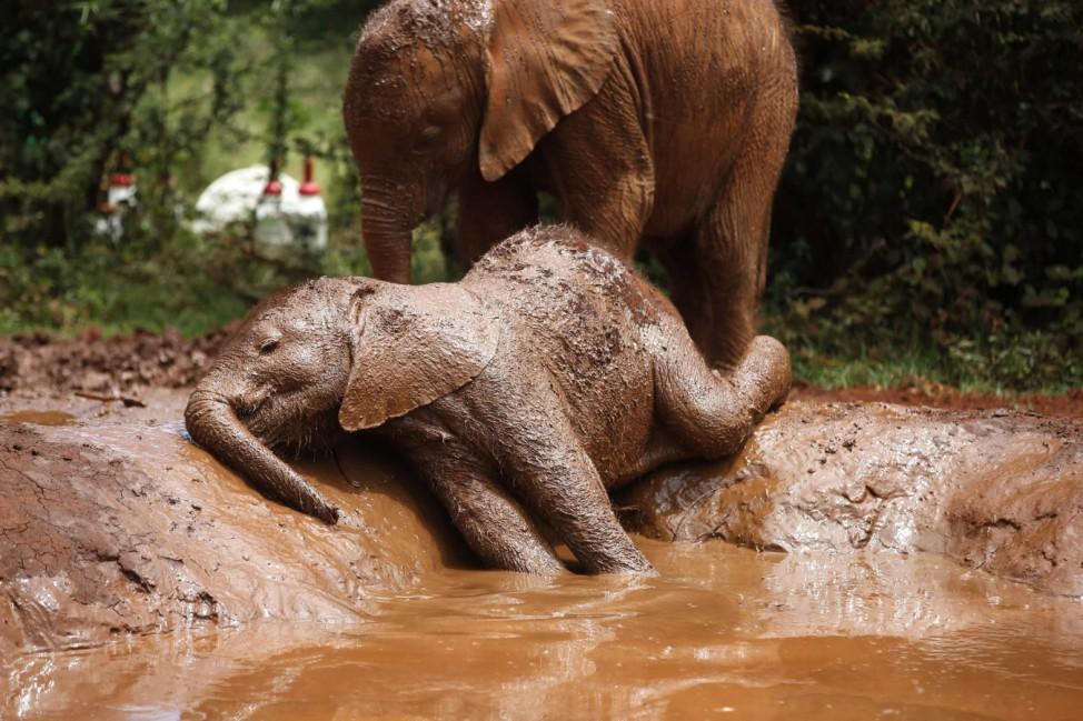An orphaned baby elephant basks in a mud puddle at the David Sheldrick Elephant Orphanage within the Nairobi National Park, near Kenya's capital Nairobi