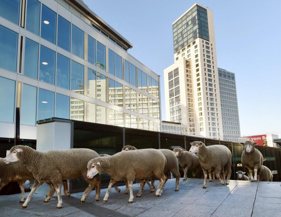 Merino-Schafe eröffnen Woll-Woche in Berlin