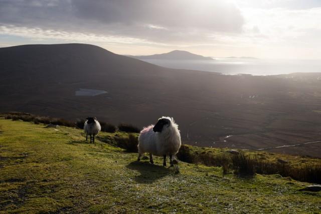 Schafe Irland
