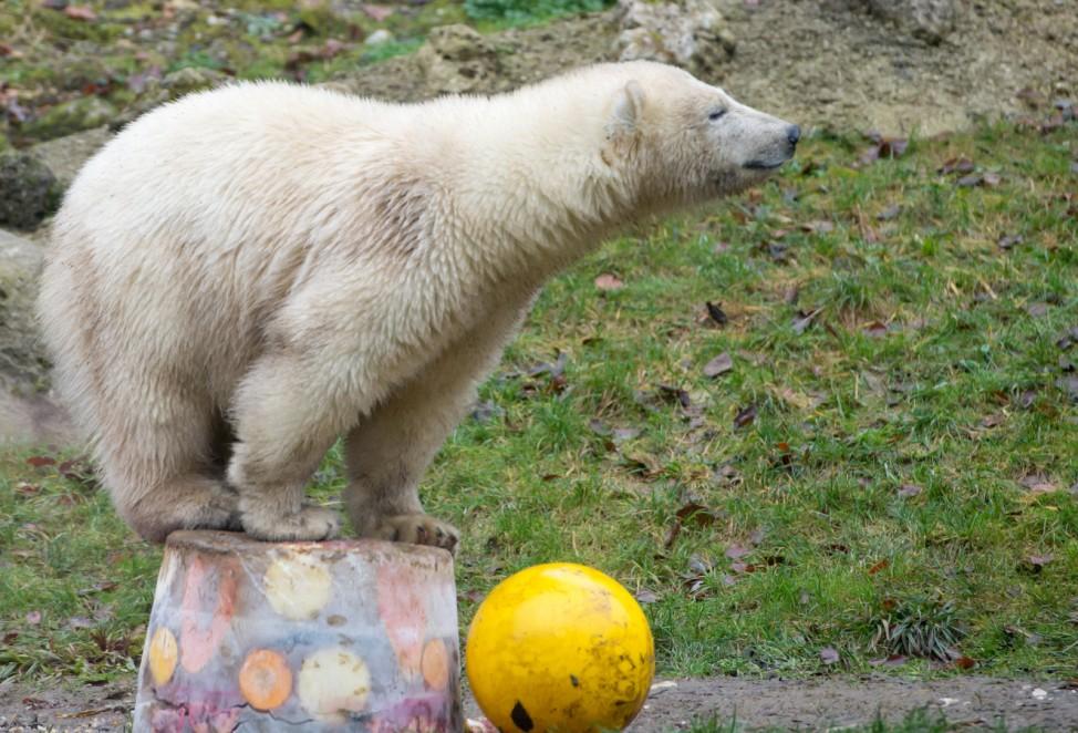 Eisbären Nela und Nobby feiern Geburtstag