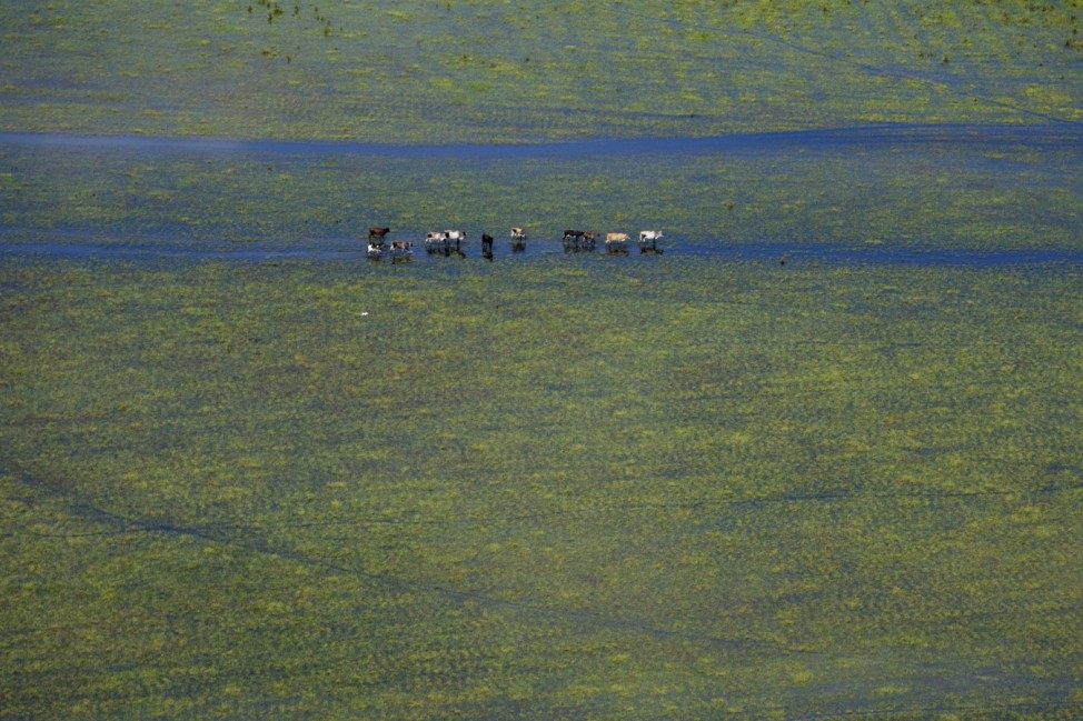 An aerial view of cattle grazing in the flood plains in the state of Apure