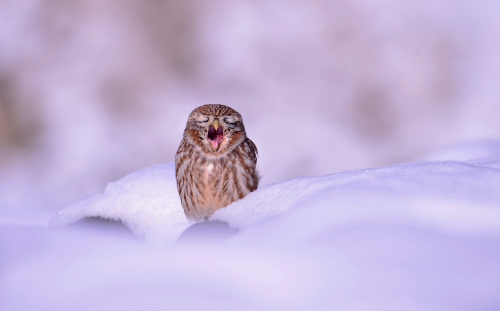 South Korean owl in the snow