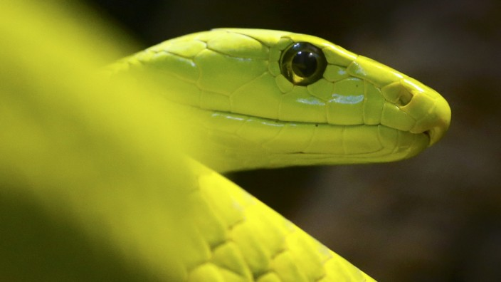 A common green mamba is pictured in its enclosure at Munich's Hellabrunn Zoo