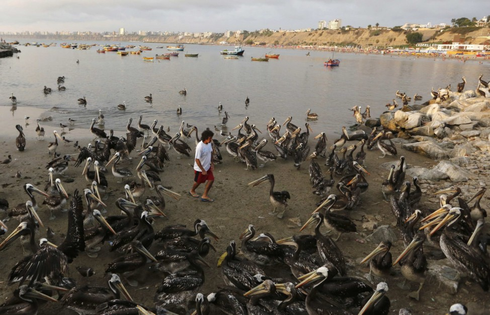 A man is surrounded by pelicans as he walks near a fish market in the Chorrillos municipality in Lima