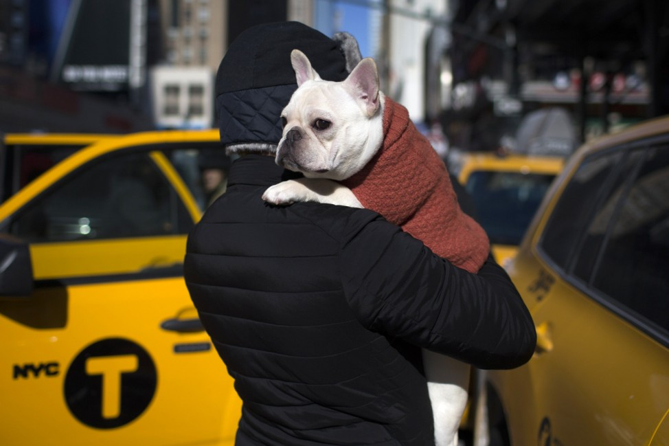 Luke, a French Bulldog is carried by his owner Paul from New York City outside the Pennsylvania Hotel in New York City ahead of the139th Westminster Kennel Club's Annual Dog Show in the Manhattan borough of New York