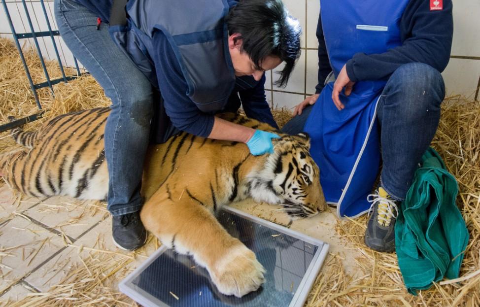 Kommt der Tierarzt zum Tiger