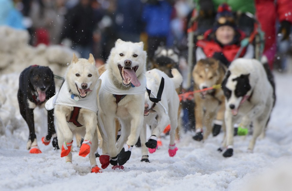 Kelly Maixner's team charges out of the chute at the 2015 ceremonial start of the Iditarod Trail Sled Dog race in downtown Anchorage