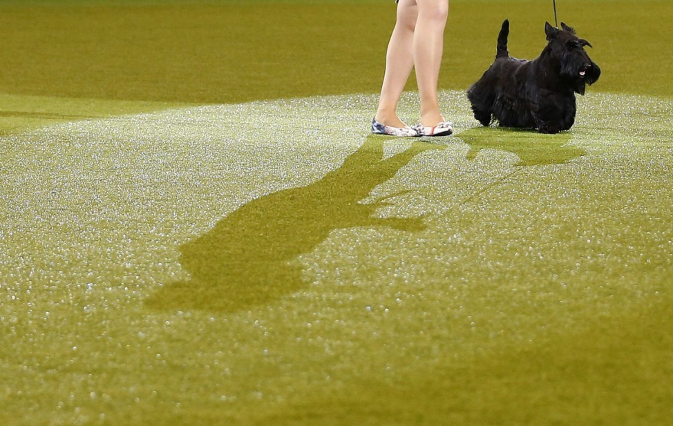 Handler Rebecca Cross shows Knopa the Scottish Terrier to the Best in Show judge during the last day of Crufts Dog Show in Birmingham
