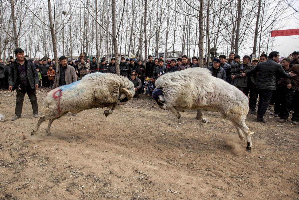 Chinese farmers enjoy sheep fights.