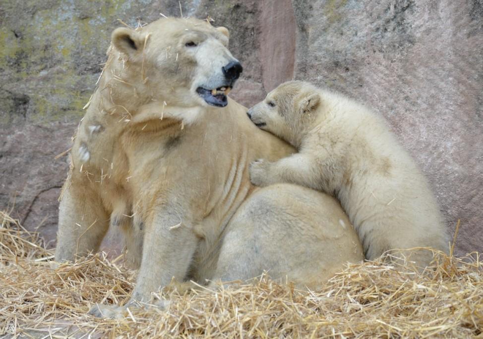 Das Nürnberger Eisbär-Baby Charlotte