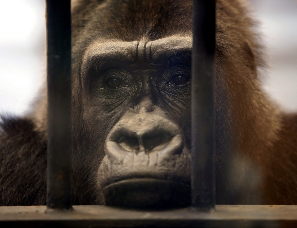 Zoo denies having agreed to free female gorilla from shopping mal