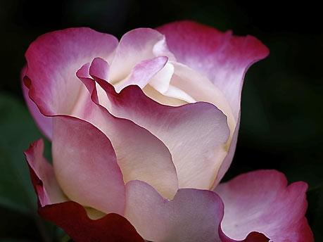 Rose, Rebekka Reuter
