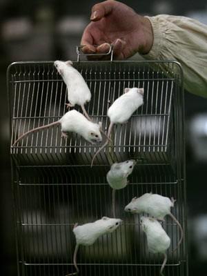 Labor-Ratten;Getty