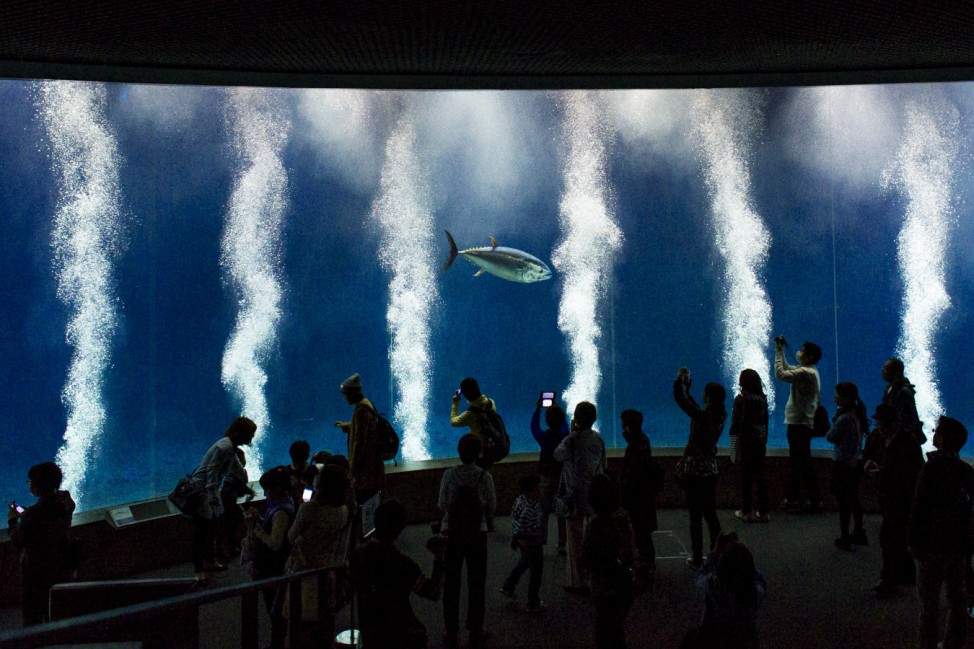 People look at Pacific bluefin tuna as it swims in tank in Tokyo Sea Life Park in Tokyo
