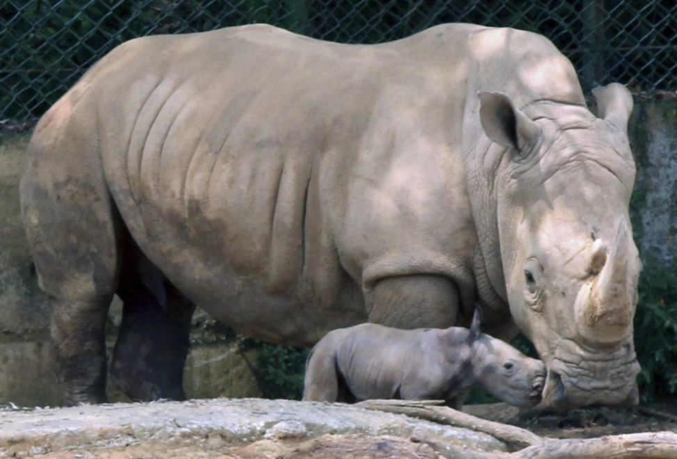 Baby white rhino at zoo in Taiwan