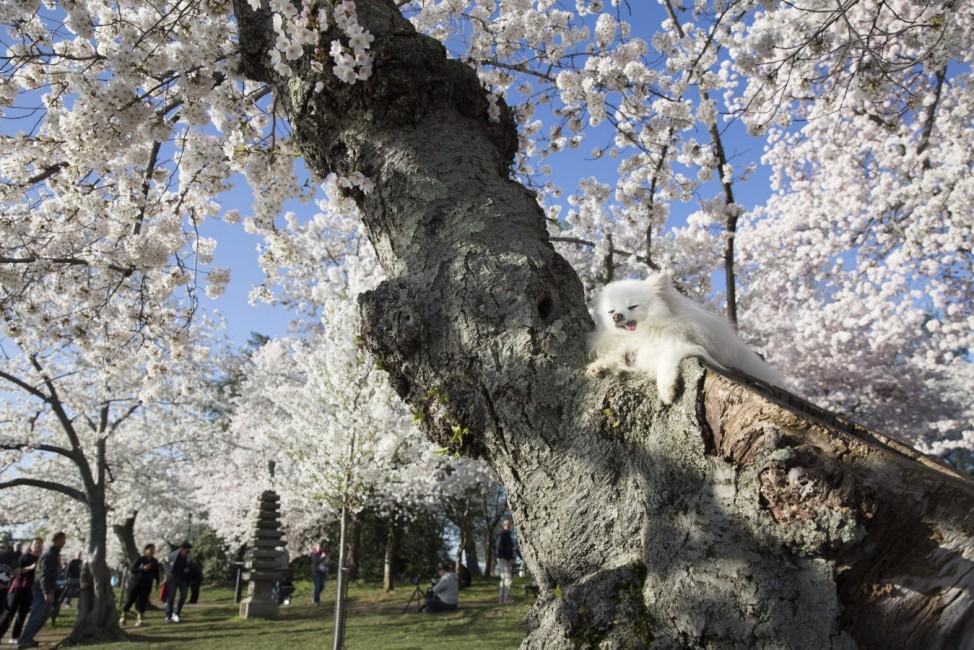 2015 National Cherry Blossom Festival