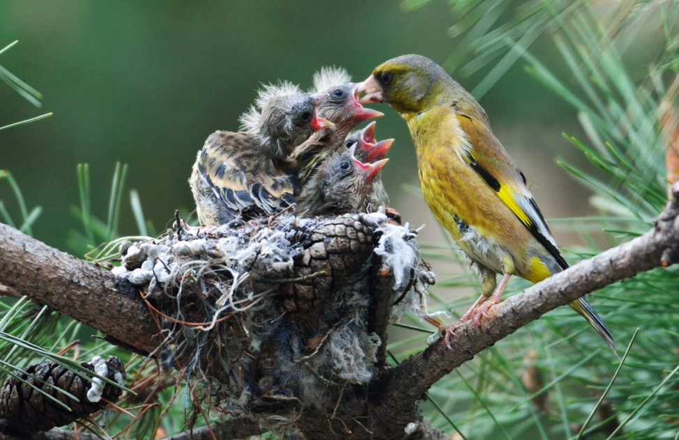 Newly hatched chicks of goldfinch