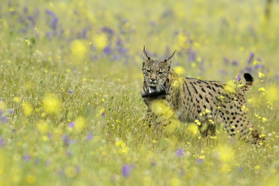 Spanish royals attend the release of two Spanish Lynxes from Iber