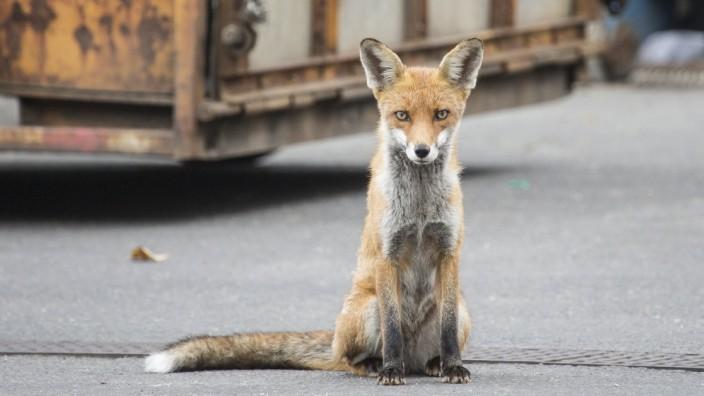 Berlin 04 11 2014 Wildes Berlin Wildtiere zieht es immer wieder in dei Stadt Ob Kaninchen Wilds
