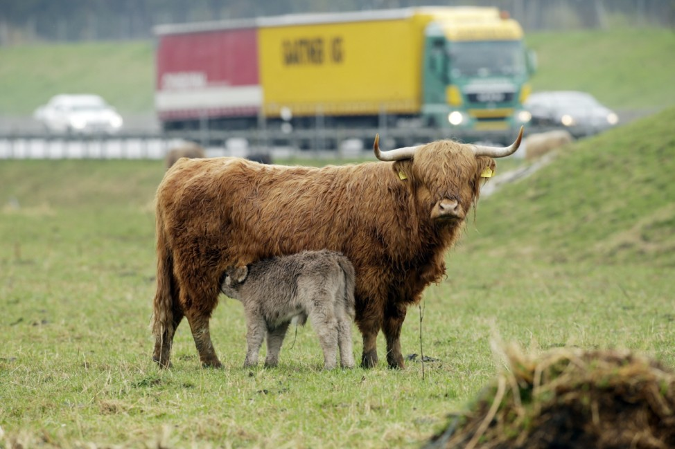 Sulzemoos: Hochlandrinder pflegen Autobahn-Böschung / Joe Engelhardt