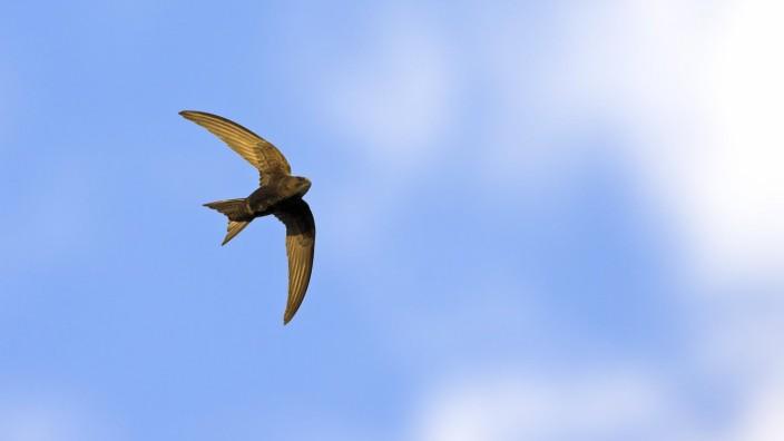 Mauersegler Apus apus im Flug von unten Deutschland Baden Wuerttemberg Eurasian swift Apus ap