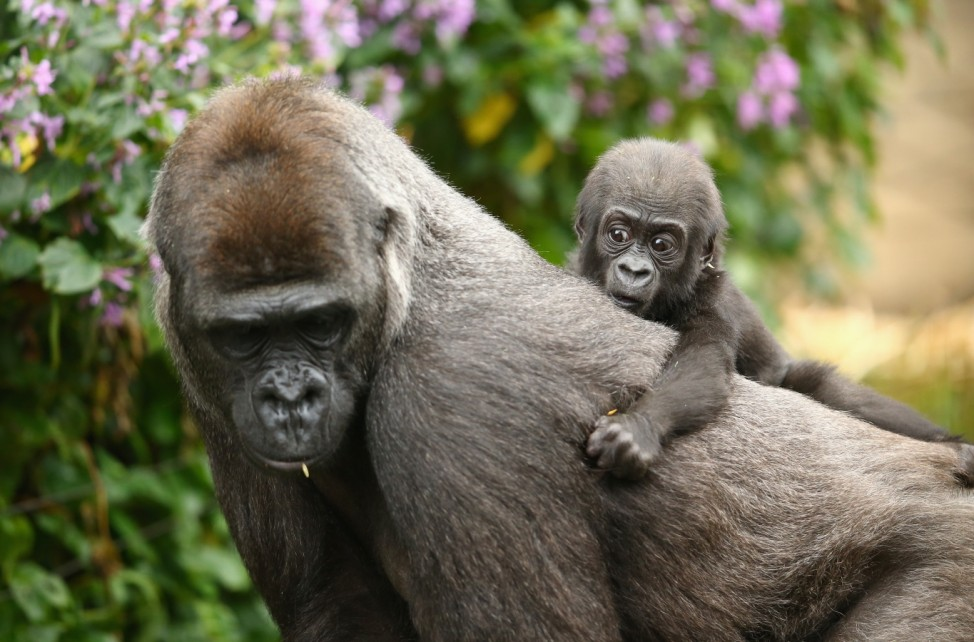 Taronga Zoo Welcomes Baby Gorilla
