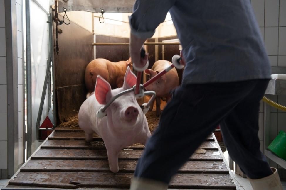 Reportage: Schweinschlachtung