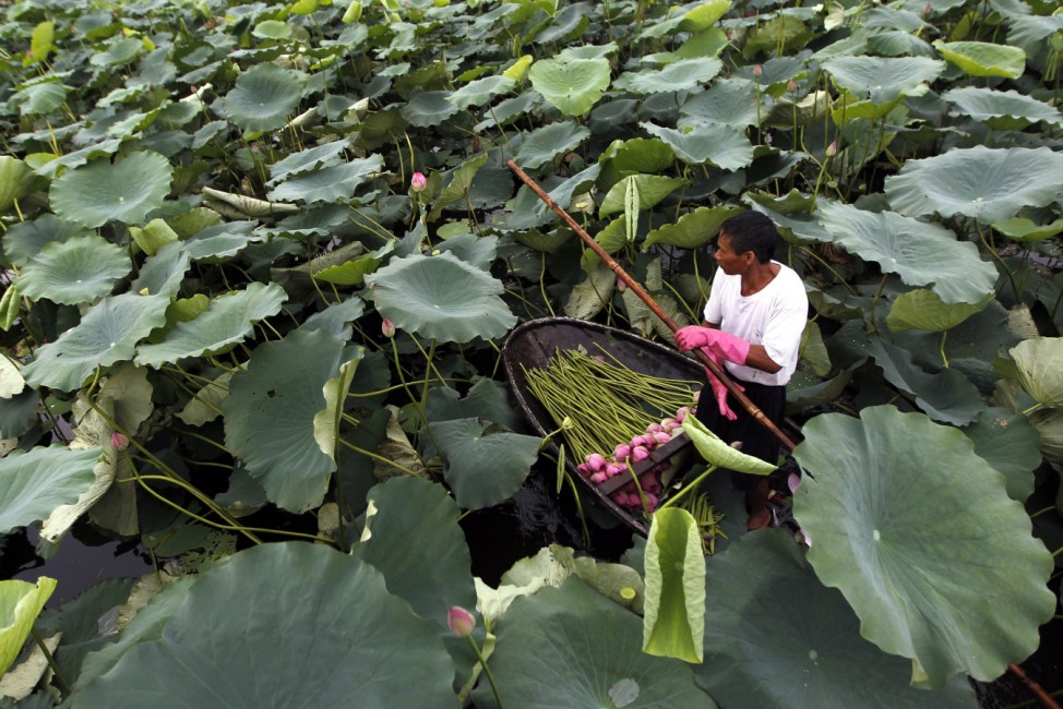 Lotus season in Vietnam