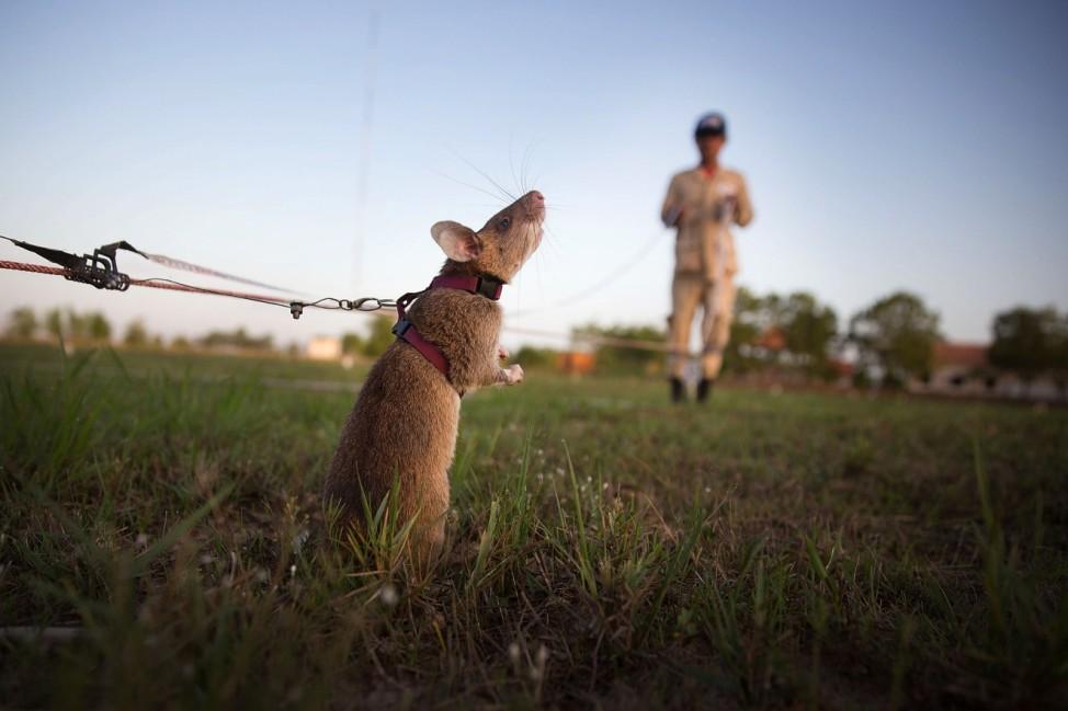 *** BESTPIX *** Cambodia's Demining Authority Train Giant Rats To Detect Landmines