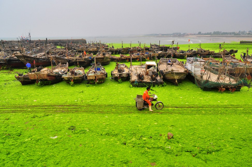 A fisherman rides past an algae-covered beachside in Rizhao